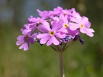 Birdseye Primrose (Primula farinosa)